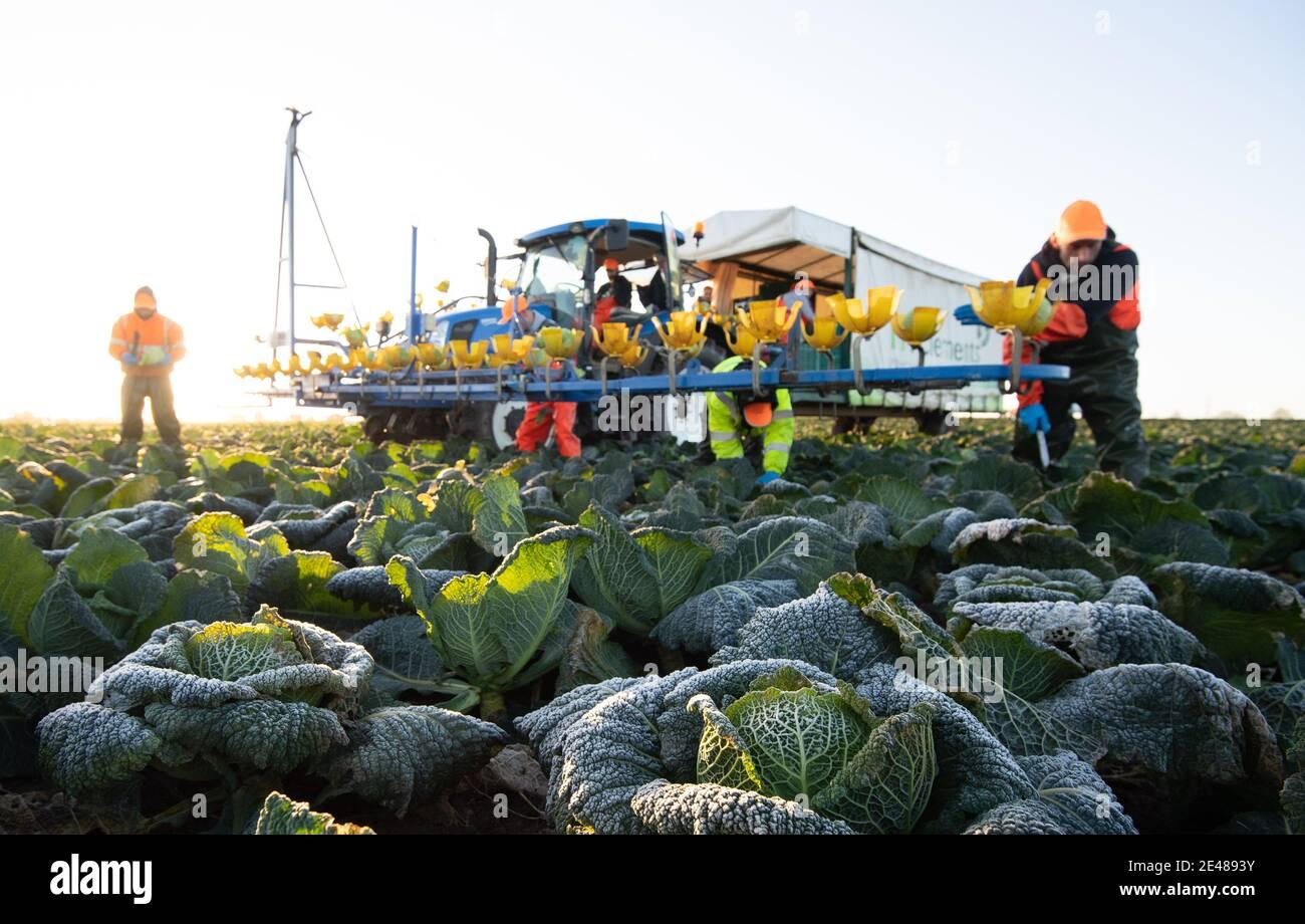 Los trabajadores cosechan cabañas de saboya en TH Clements cerca de Boston en Lincolnshire. Fecha de la foto: Viernes 22 de enero de 2021. Foto de stock