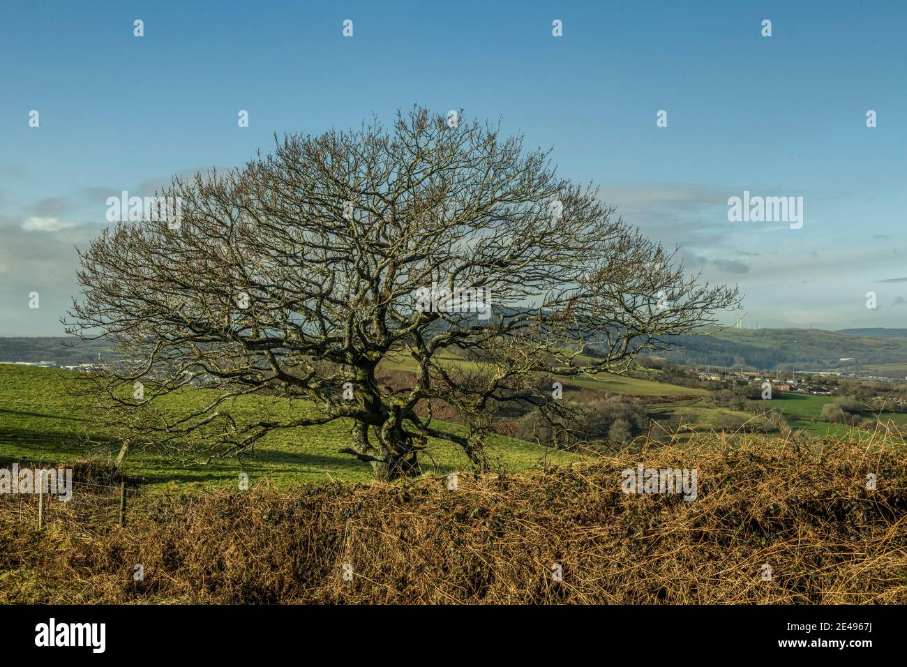 Árboles de invierno fotografiados en enero en un brillante día de invierno en una colina en el sur de Gales cerca de Llantrisant. Foto de stock
