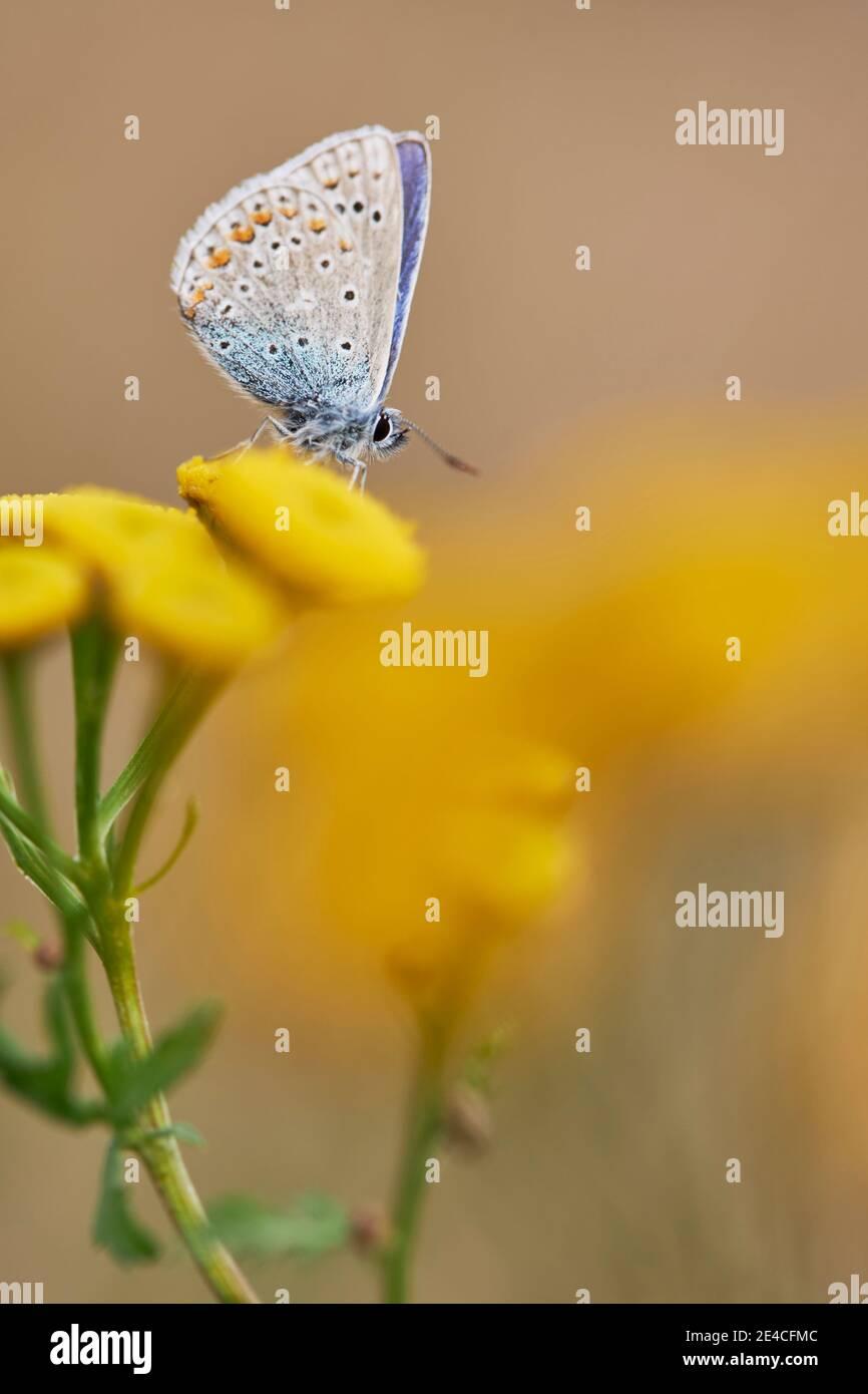 Mariposa, azul de la flecha, Polyommatus icaro Foto de stock
