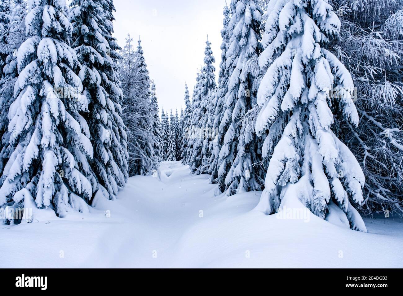 Paisaje invernal con árboles, heladas y nieve en un día nublado en las montañas de Ore. Foto de stock
