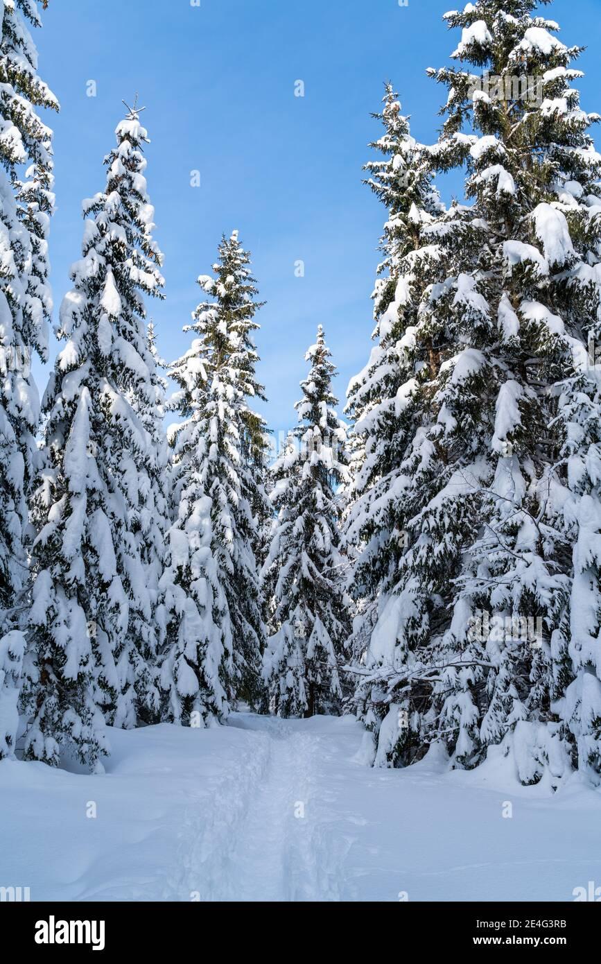 Romántico sendero alpino de montaña a través de árboles de picea cubiertos de nieve fresca en los Alpes en un día claro, frío y soleado en invierno con cielos azules. Foto de stock