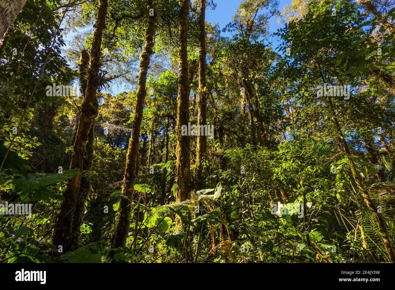 Frondoso bosque nublado en el Parque Nacional la Amistad, provincia de Chiriqui, República de Panamá. Foto de stock