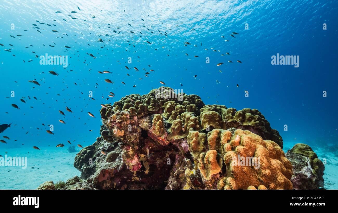 Paisaje marino en aguas poco profundas de arrecifes de coral en el Mar Caribe, Curacao con peces, corales y esponjas Foto de stock