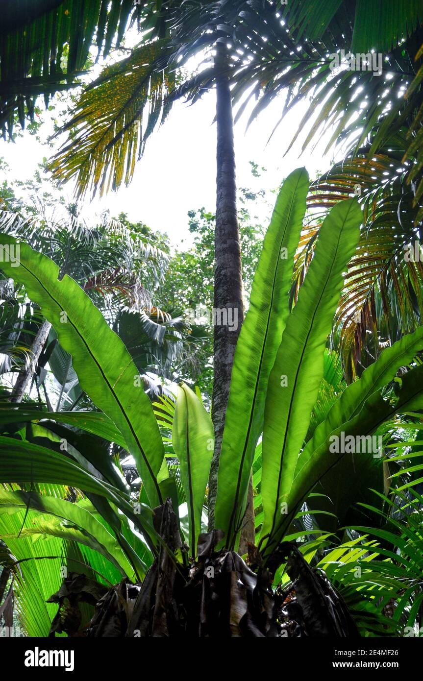 Hermosa planta verde nido de pájaro Fern (Asplenium nidus) en el subcrecimiento tropical Foto de stock