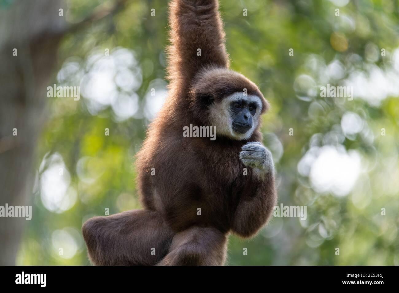 Gibbon colgando con un brazo de una rama o plataforma que está fuera de la estructura, mientras que el gibbon está cerca Foto de stock
