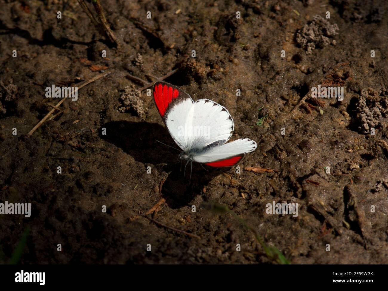 Una mariposa de colores brillantes y llamativa, el macho Scarlet Tip es activo flutaming de flor a flor sorber néctar o chupar la humedad Foto de stock