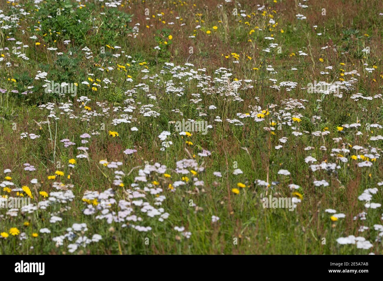 Yarrow común, milfoil (Achillea millefolium), floreciendo en un prado, Islandia Foto de stock