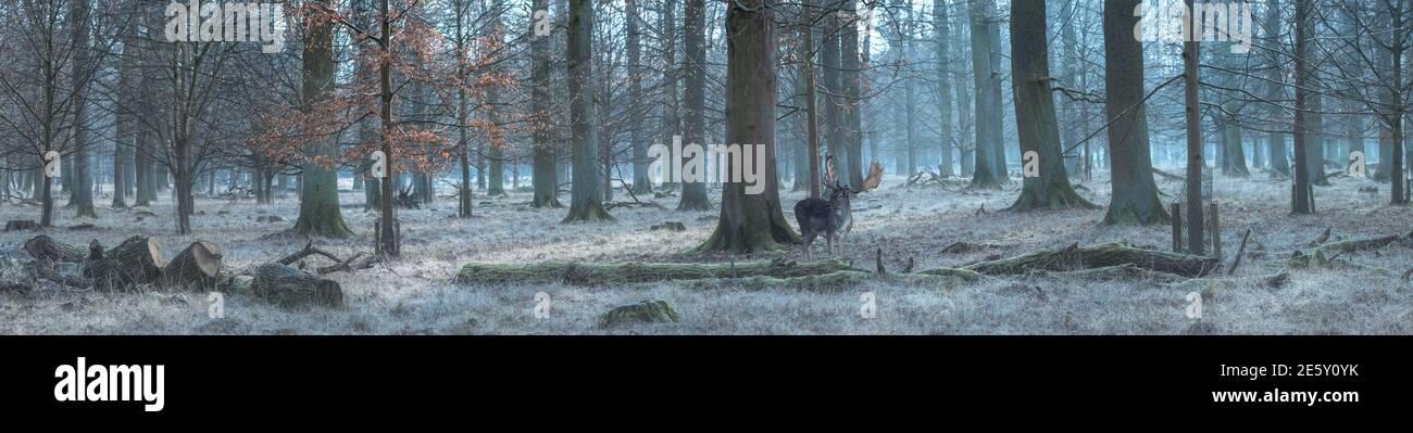 Panorama del bosque con ciervos barbecho Foto de stock