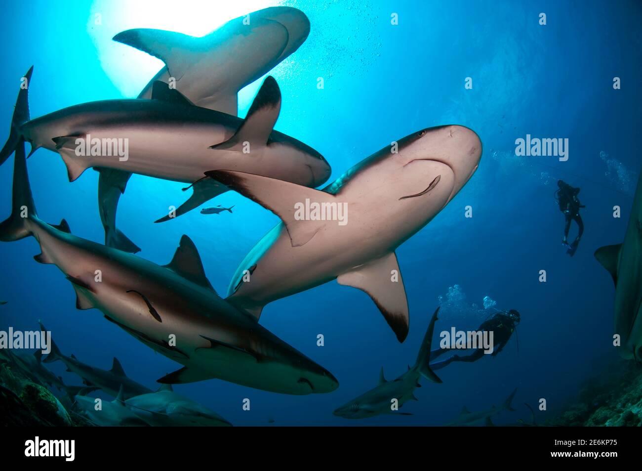 Buceadores nadando con una gran escuela de tiburón arrecife caribeño (Carcharhinus perezi) en el Mar Caribe. Foto de stock
