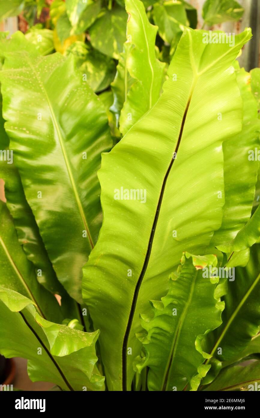 Hermosa planta Asplenium nidus en el jardín bajo el sol Foto de stock