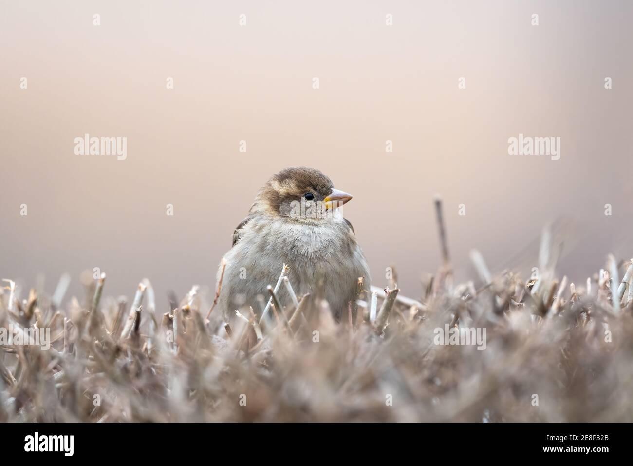 Casa Sparrow, Passer domesticus, de pie sobre un arbusto con un fondo borroso agradable Foto de stock
