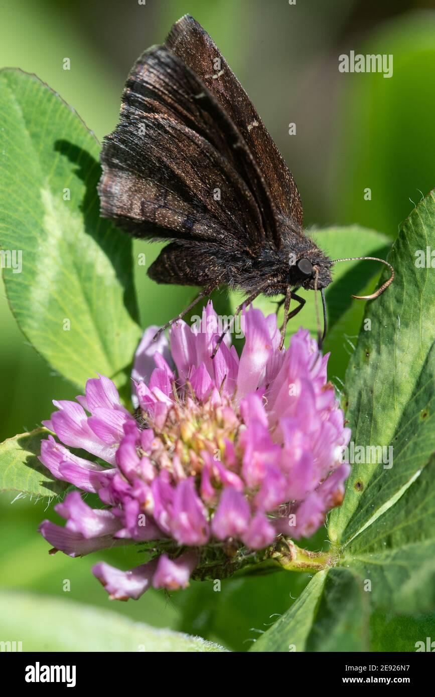 Una mariposa de ala Nubodywing del norte que se alimenta de trébol en Wisconsin. Foto de stock