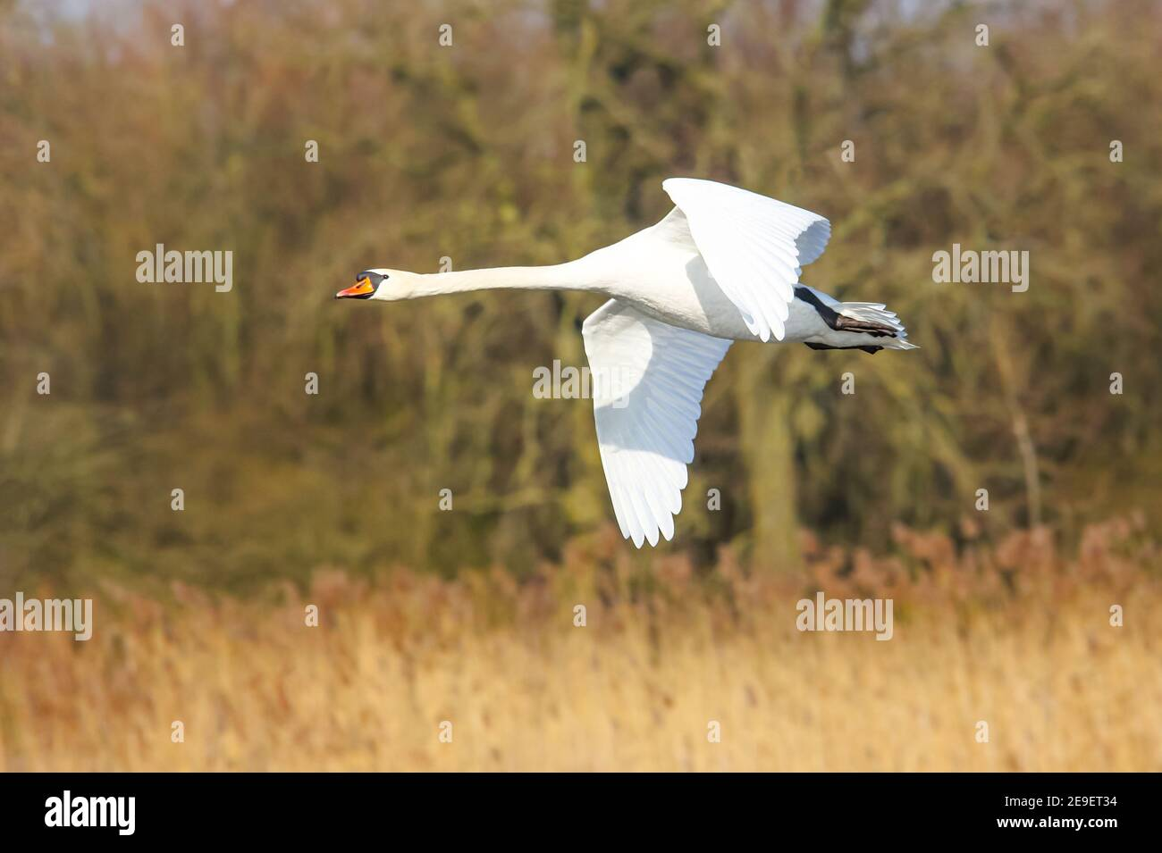 Un cisne volador (Cygnus olor) en primavera. Holstein del este, Alemania Foto de stock