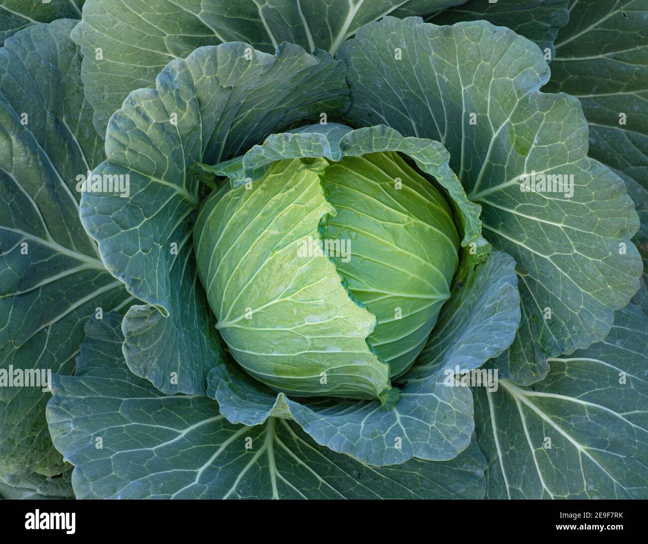 Cerca de repollo fresco verde que madura las cabezas que crecen en el campo de granja Foto de stock