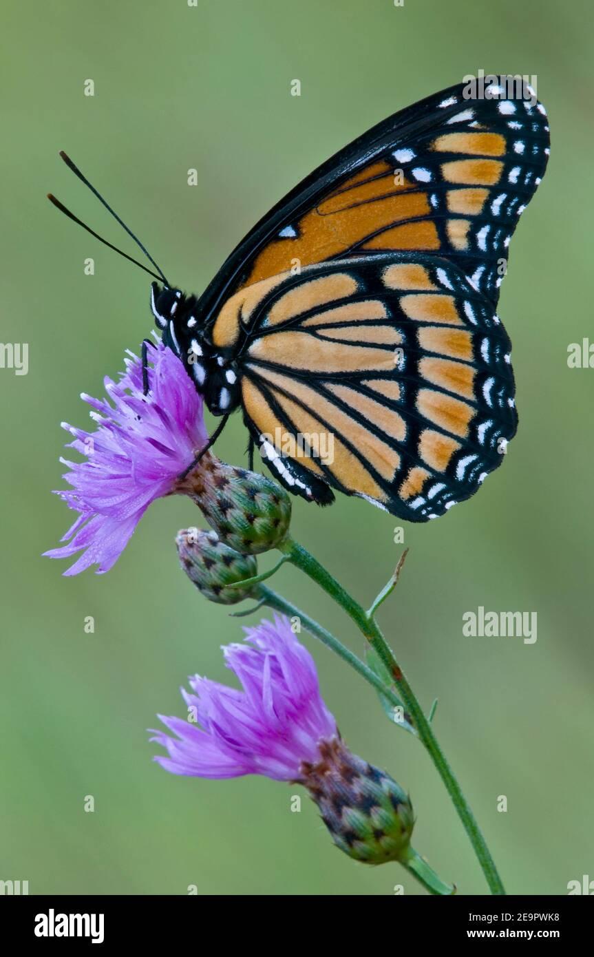 Mariposa de Virrey (Limenitis archippus) alimentándose en la hierba de la manilla manchada (Centaurea stoebe), E Estados Unidos, por Skip Moody/Dembinsky Photo Assoc Foto de stock