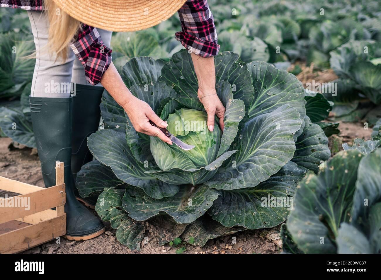 Granjero cosechando repollo en el campo. Mujer recogiendo verduras en la granja orgánica. Actividad agrícola en la temporada de otoño Foto de stock