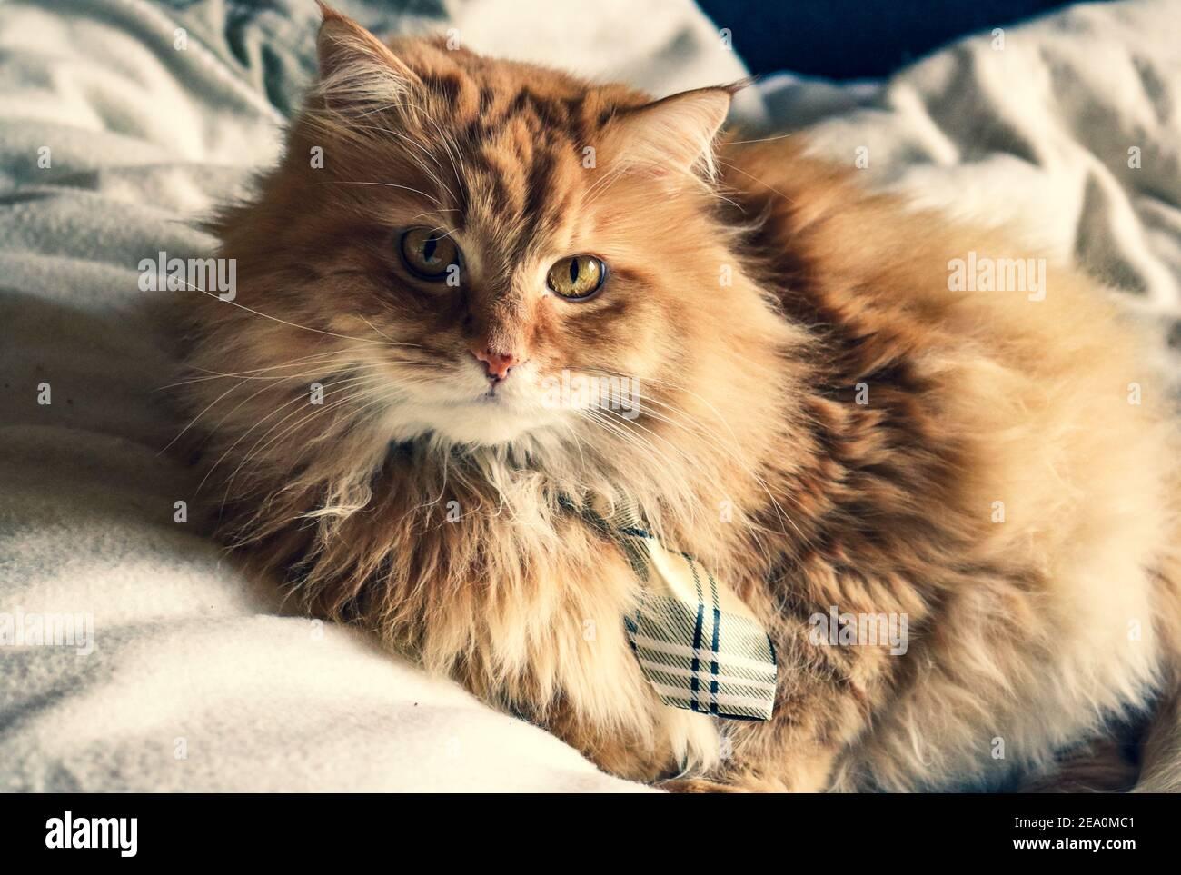 Un gato de jengibre esponjoso en la cama con corbata Foto de stock