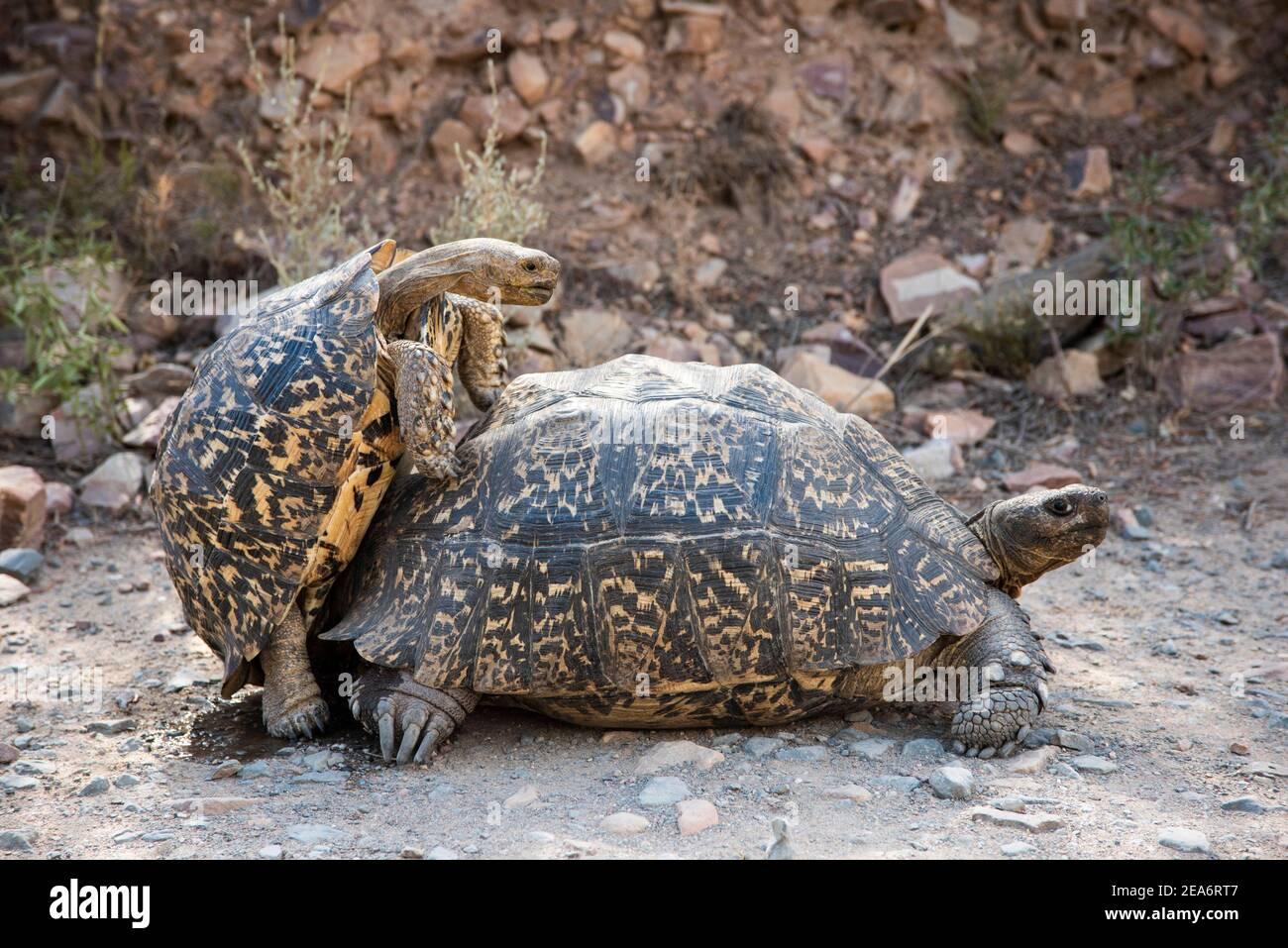 Apareamiento de tortuga leopardo, Geochelone pardalis, Baviaanskloof, Sudáfrica Foto de stock