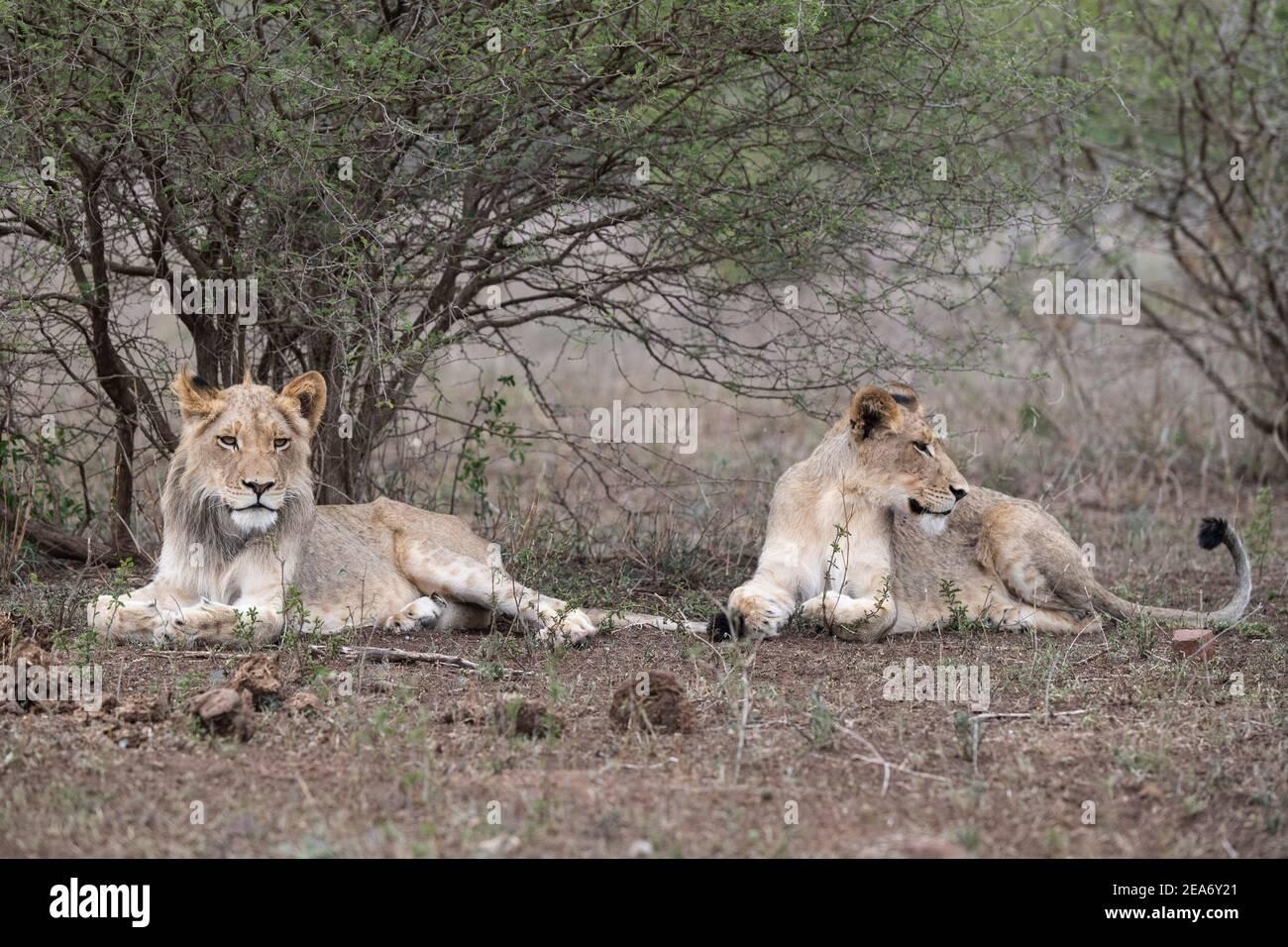 Cachorros de león, Panthero leo, Parque Nacional Kruger, Sudáfrica Foto de stock