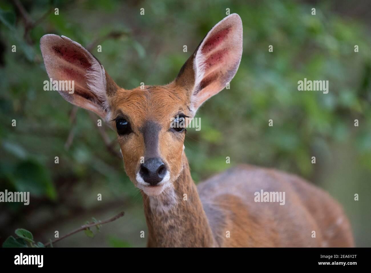 El Bushbuck, Tragelaphus scriptus, el Parque Nacional Kruger, Sudáfrica Foto de stock
