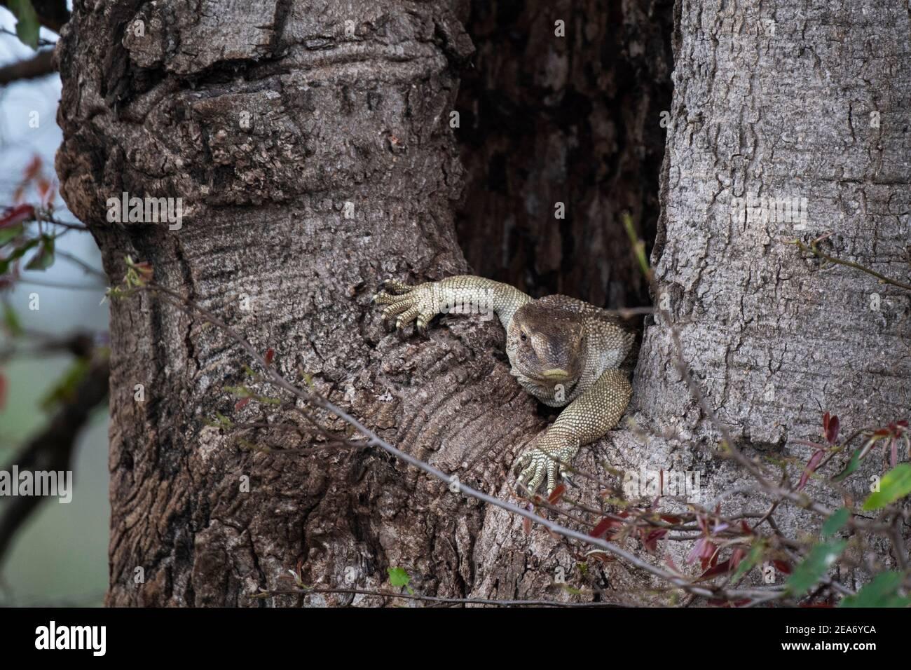 Monitor del Nilo sentado en un árbol, Vanellus niloticus, Parque Nacional Kruger, Sudáfrica Foto de stock