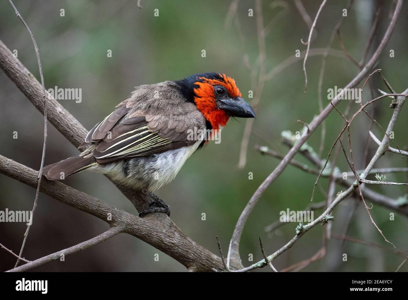 barbet de cuello negro, Lybius torquatus, Parque Nacional Kruger, Sudáfrica Foto de stock