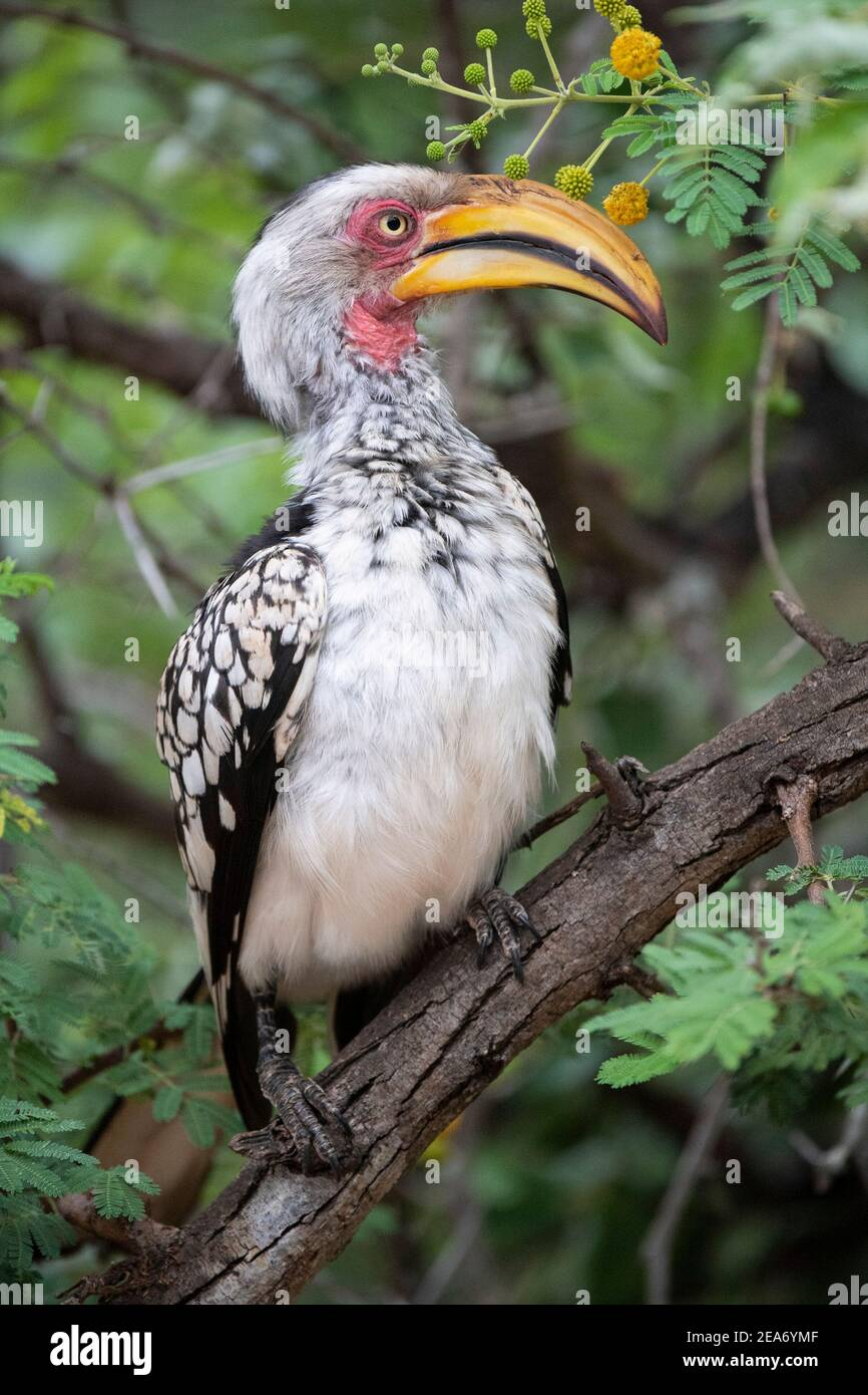 Southern yellow-facturados de bucero, el Parque Nacional Kruger, Sudáfrica Foto de stock
