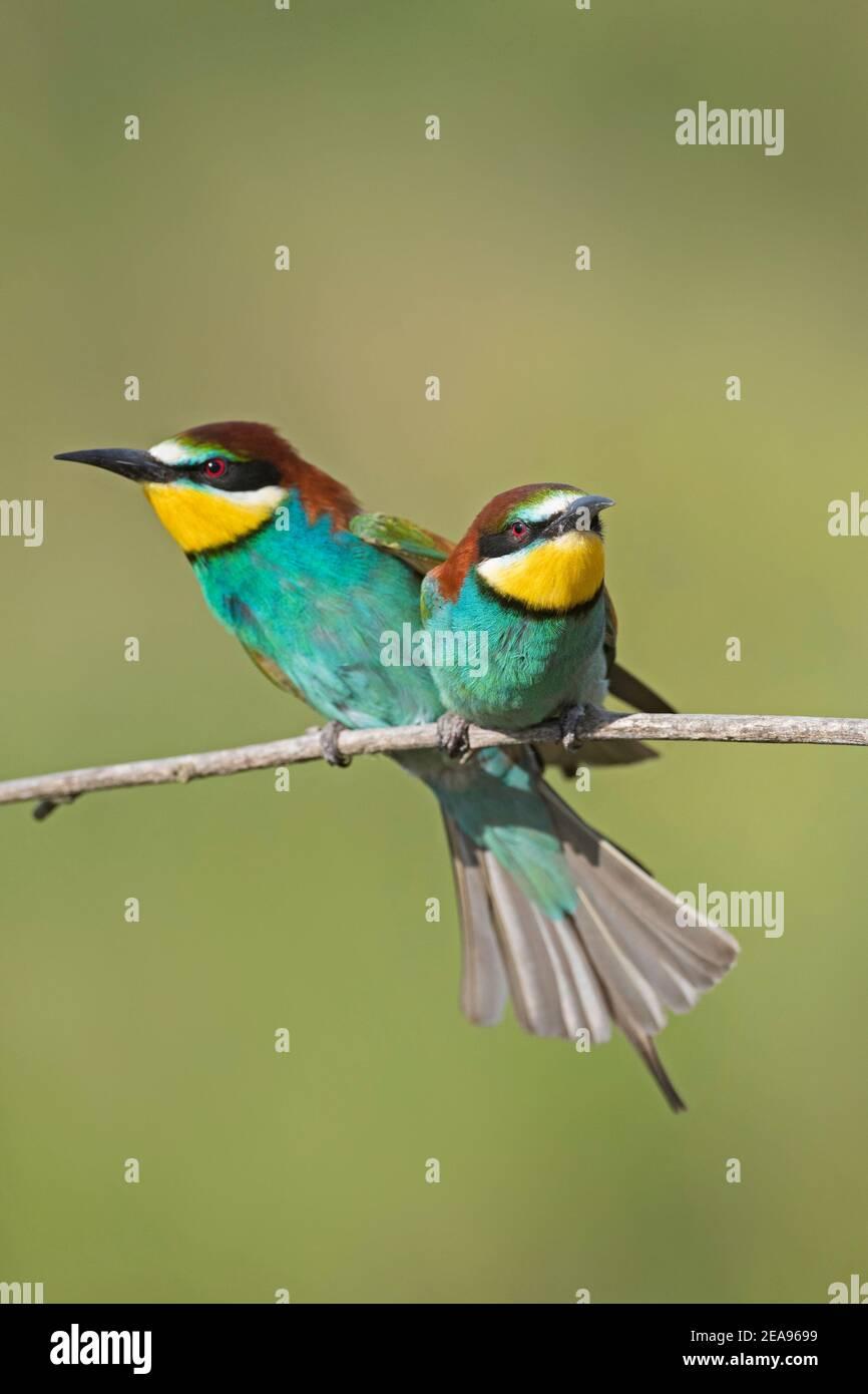 Pareja europea de abejas-eater (Merops apiaster) mostrando en rama Foto de stock