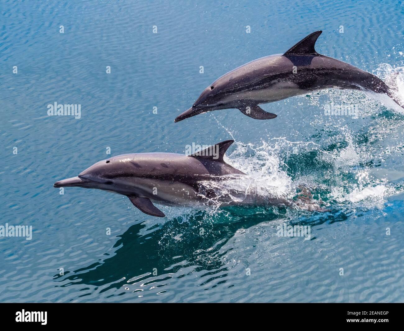 Delfines comunes de pico largo (Delphinus capensis), saltando, Isla San Pedro Esteban, Baja California, México, América del Norte Foto de stock