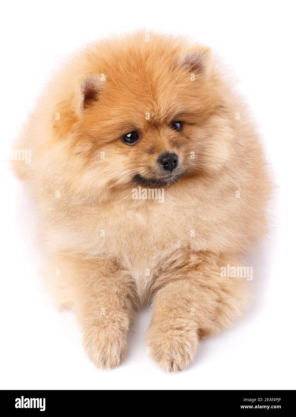 Pomeranian Spitz posando delante de la cámara sobre fondo blanco. Foto de stock