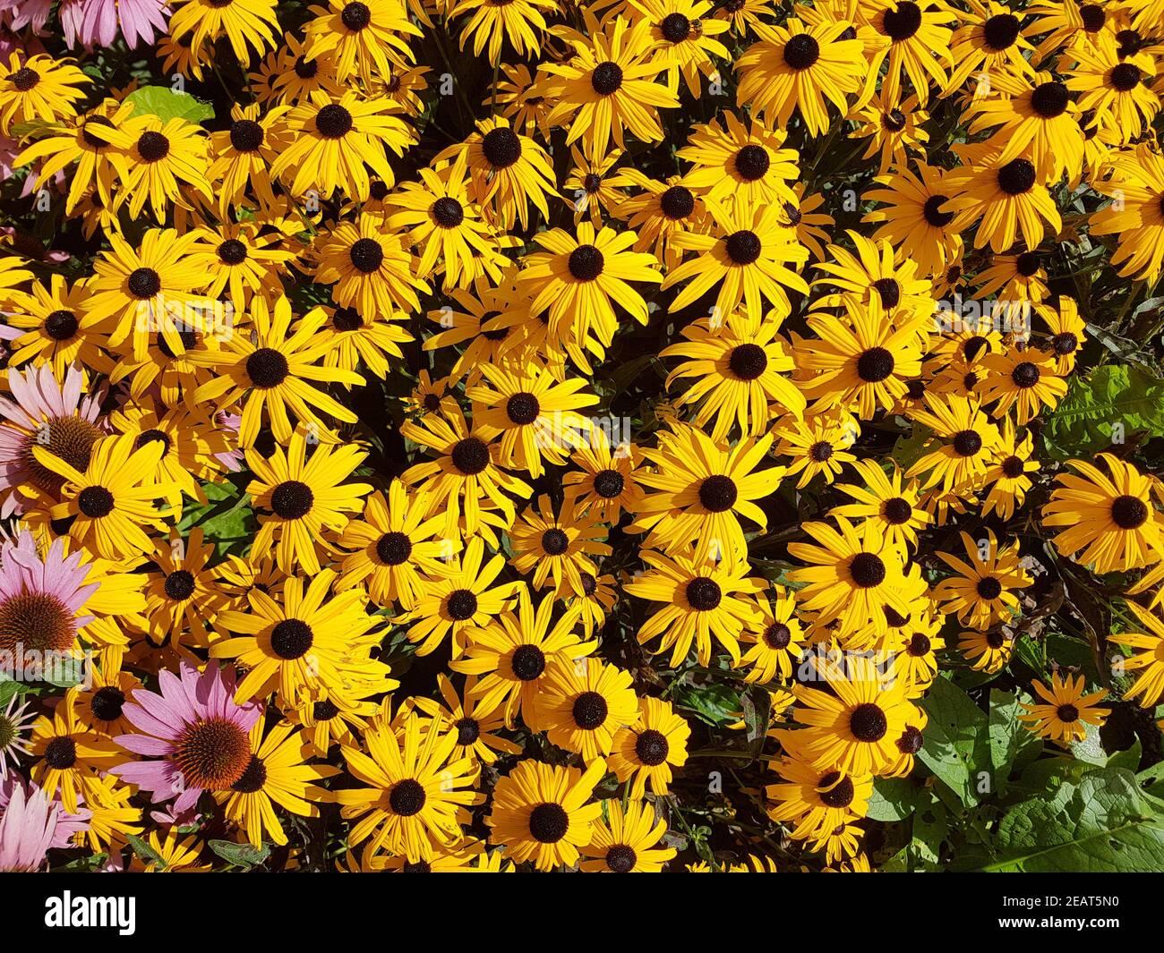 Sonnenhut Sun Hat Rudbeckia hirta Heilpflanze Foto de stock