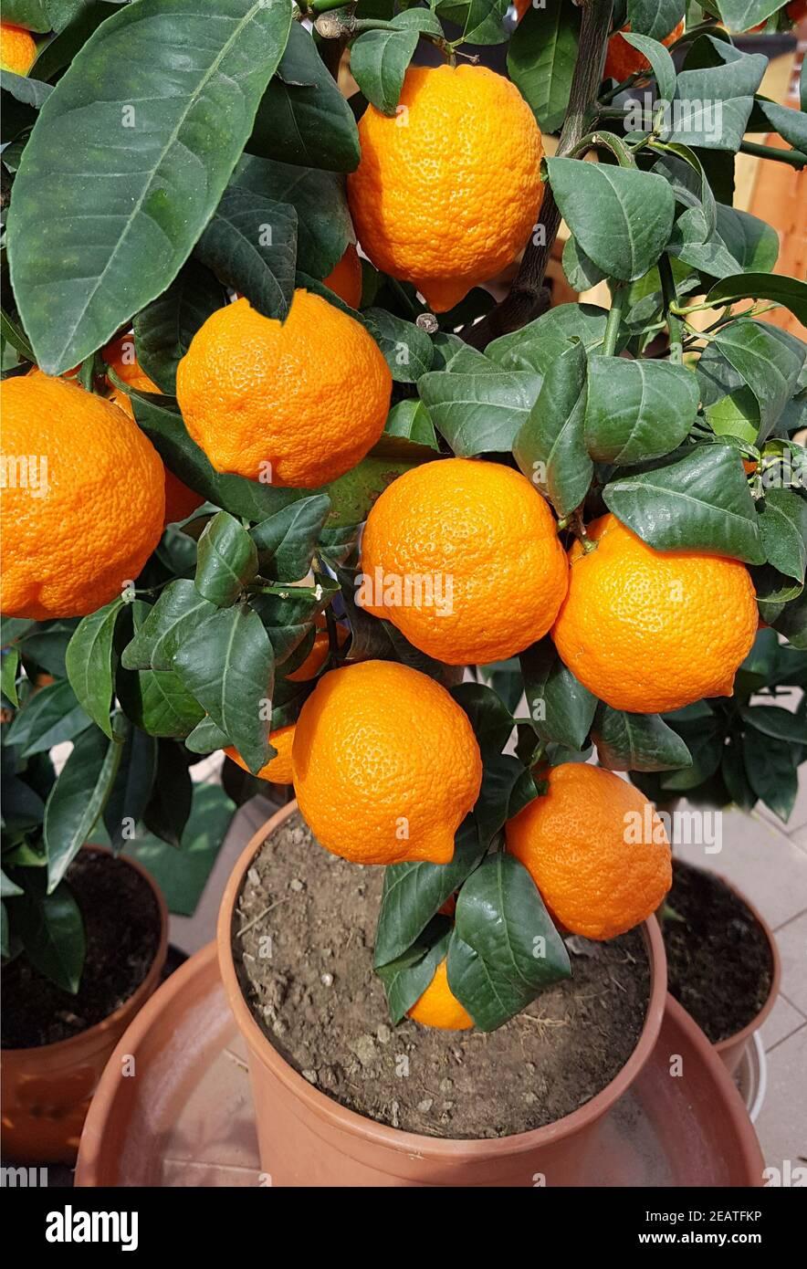 Zitrone Limone, Rosso, Rot, Citrus limon Foto de stock