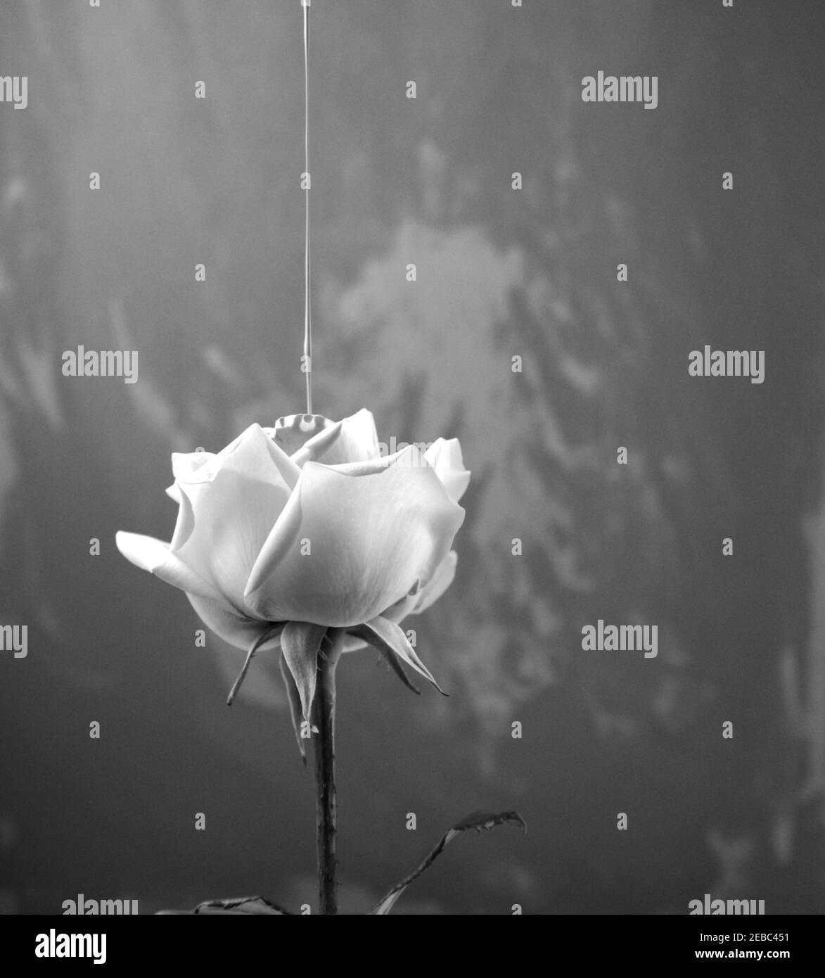 Fotografía de estilo vintage en blanco y negro. El color del líquido acrílico se vierte en rosa. Vista lateral de flor única con arte irregular Foto de stock