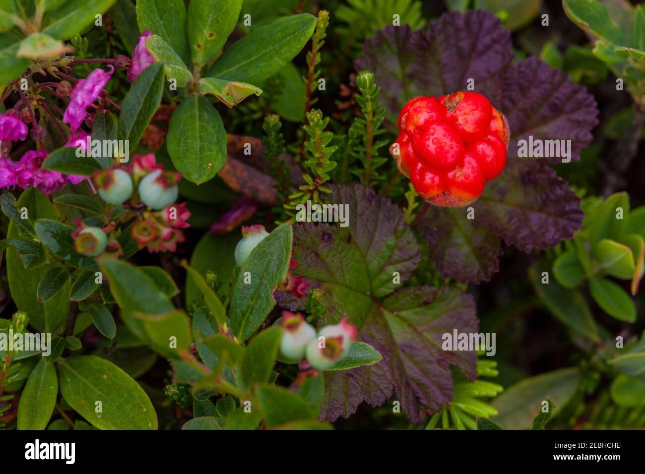 Bake Apple berry, cloudberry (rubus chamaemorus)<Newfoundland, Canadá Foto de stock