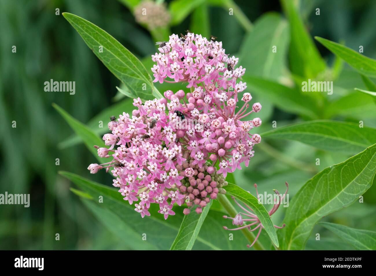 Swamp Milkweed - Asclepias incarnata 20 de julio de 2019 Big Sioux Recreation Area, Dakota del Sur Foto de stock
