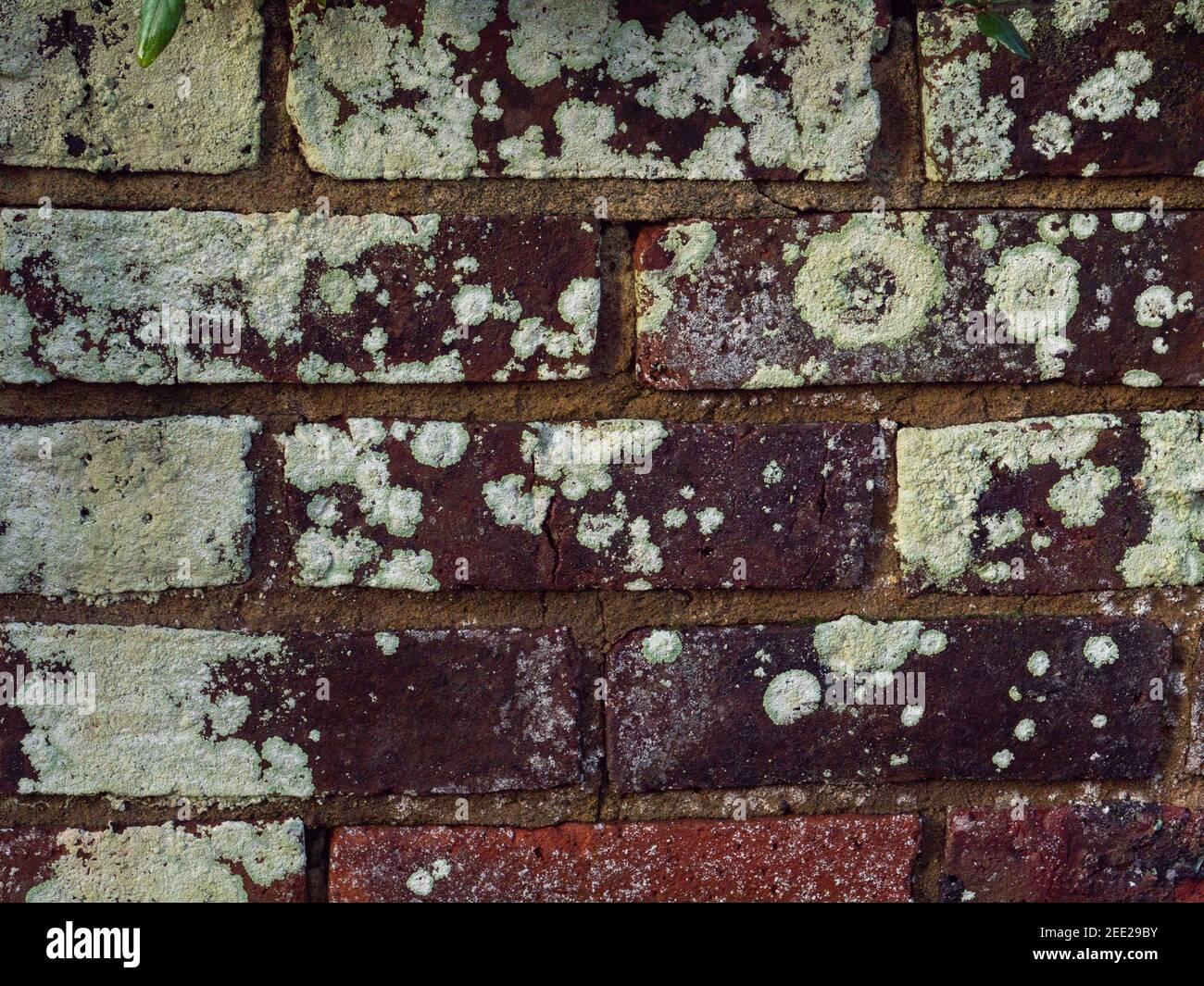 Lichen vio crecer en una pared de ladrillo vertical. Foto de stock