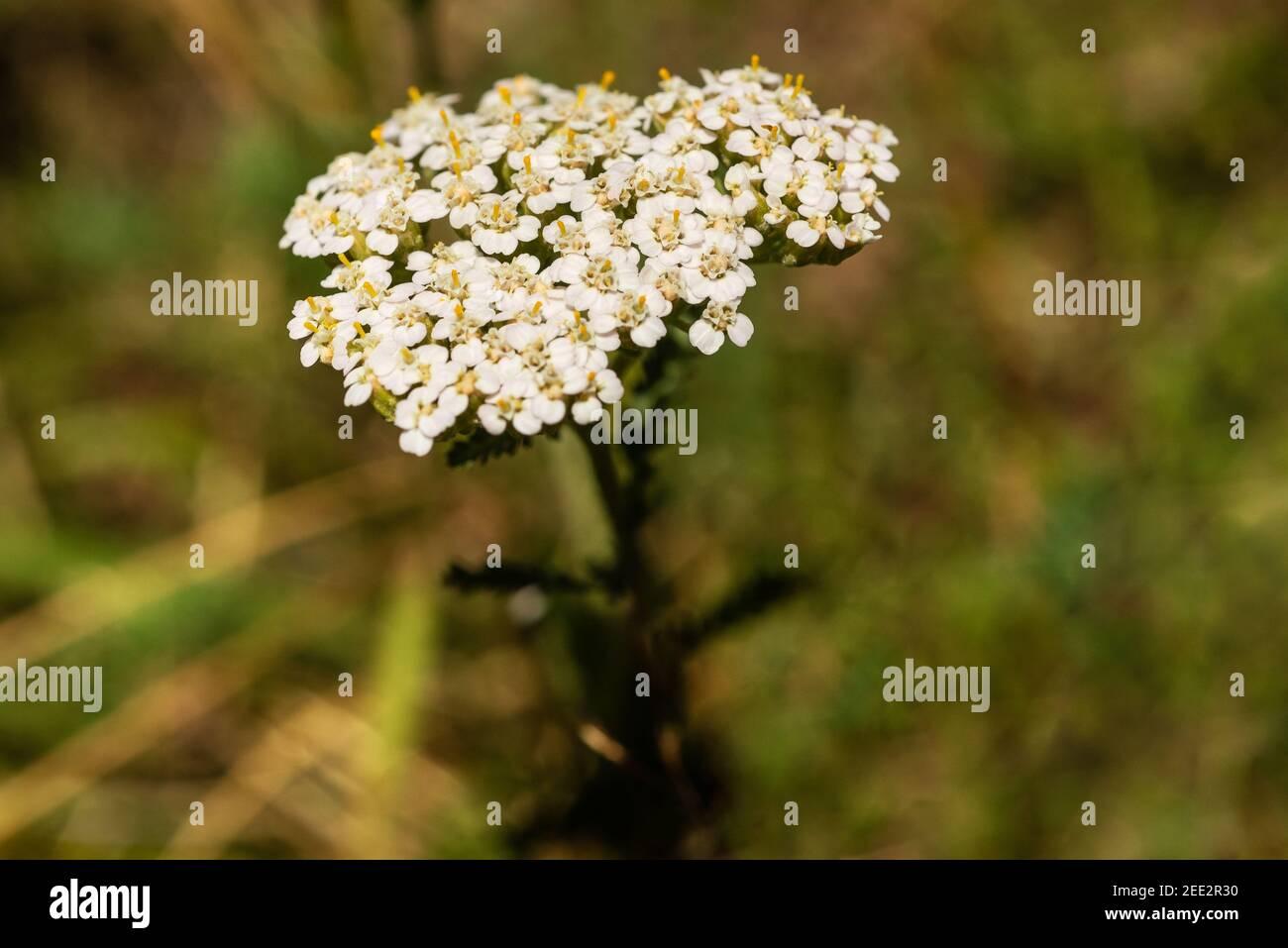 Flores blancas de la yarrow sobre fondo borroso. Foto de stock