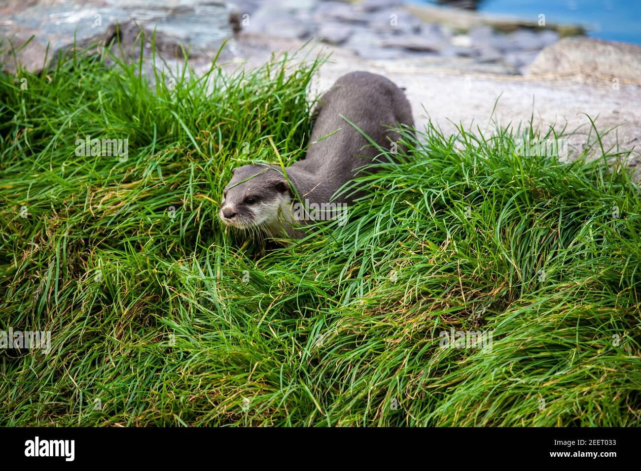 Asia pequeño-clawed otter Aonyx cinereus moviéndose en la hierba espesa encendido tierra seca (cautiva) Foto de stock