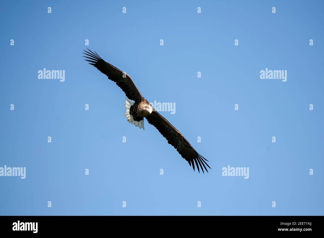 Un gran águila de cola blanca Haliaeetus albicilla volando en un corriente térmica contra un cielo azul claro Foto de stock