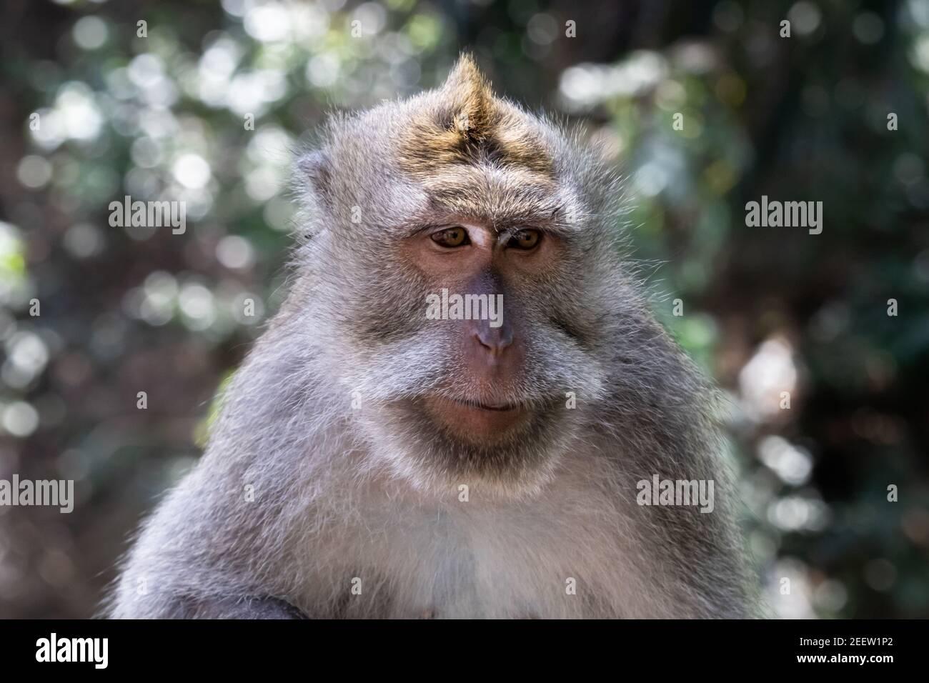 Primer plano del mono de cola larga balinés. Cepillo de la selva en el fondo. Foto de stock