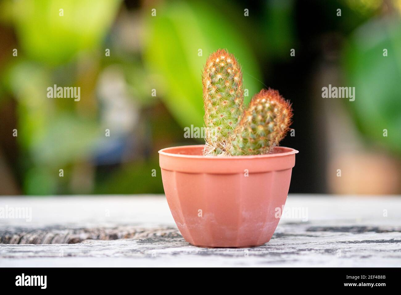 Planta pequeña o cactus en maceta sobre la mesa de madera vintage con luz natural y fondo verde, enfoque selectivo. Foto de stock
