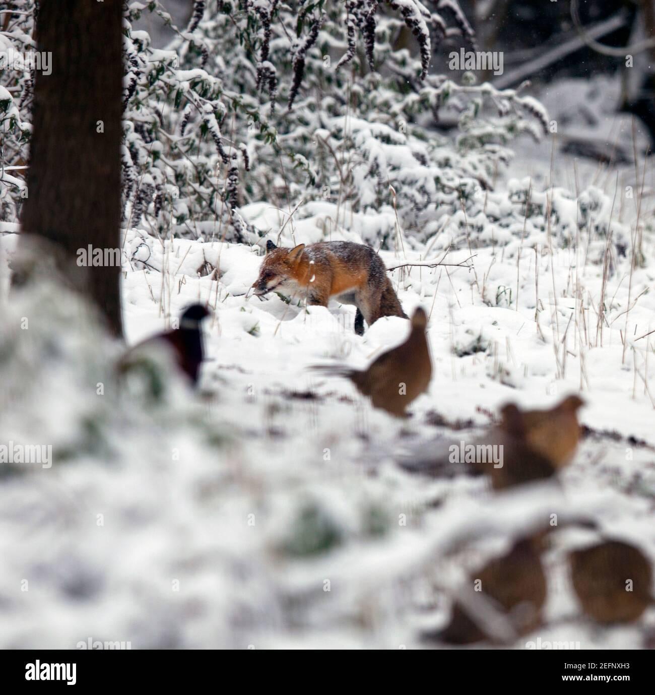 Un zorro ( vulpes vulpes ) caminando por el campo cubierto de nieve en Kent, Reino Unido. En primer plano se muestran los faisanes. Enero de 2021 Foto de stock