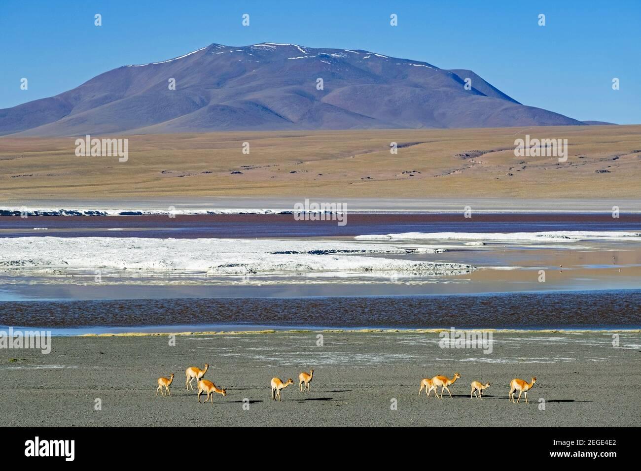 Vicuñas (Vicugna vicugna) a orillas de la Laguna Colorada / Laguna Roja, lago salado en la Reserva Nacional de Fauna Andina Eduardo Avaroa, Bolivia Foto de stock