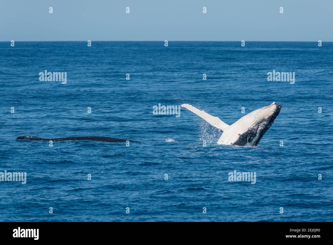 Observación de ballenas jorobadas, Bahía Merimbula, Nueva Gales del Sur, Australia. Foto de stock