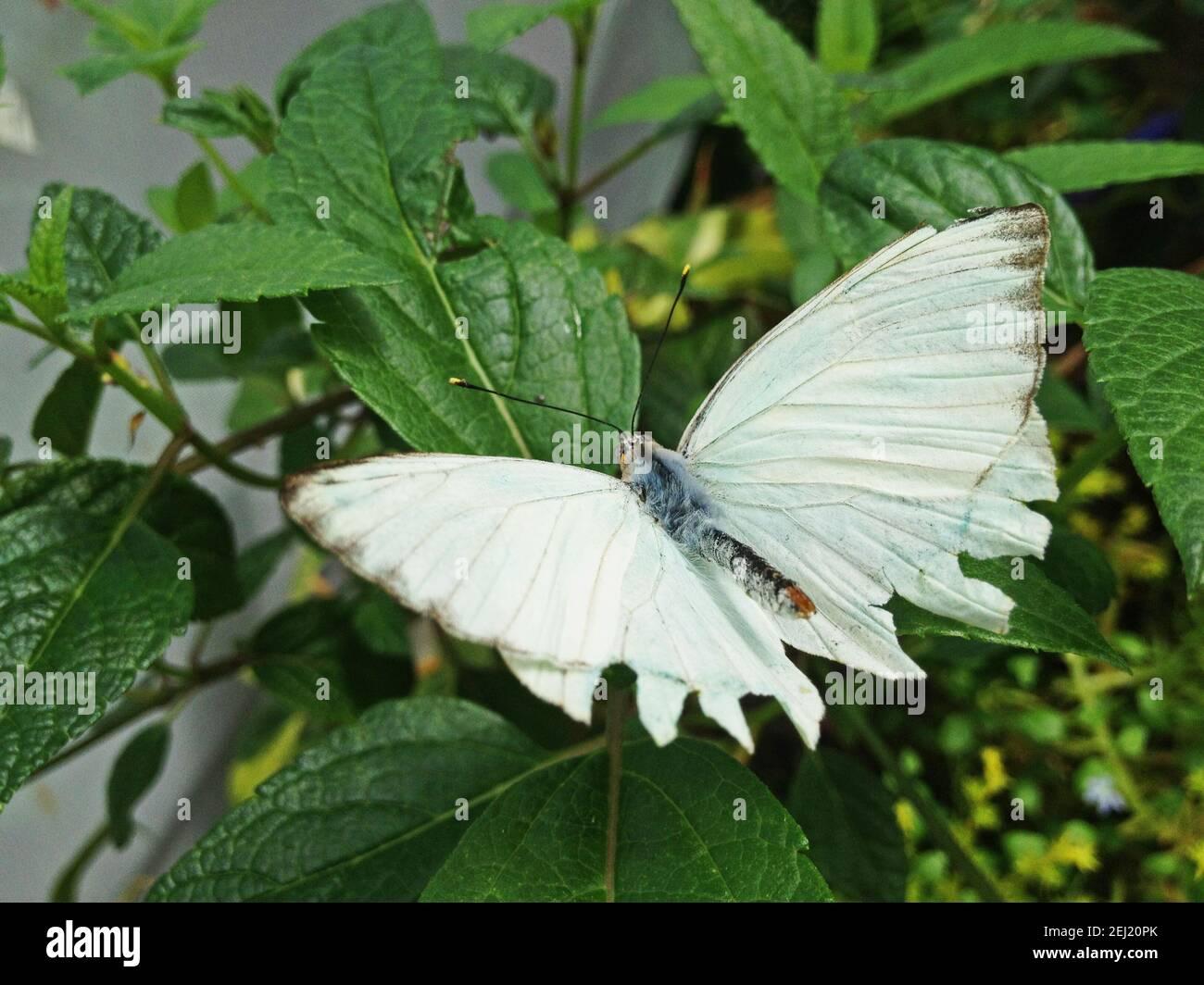 Mariposa blanca grande en planta Foto de stock