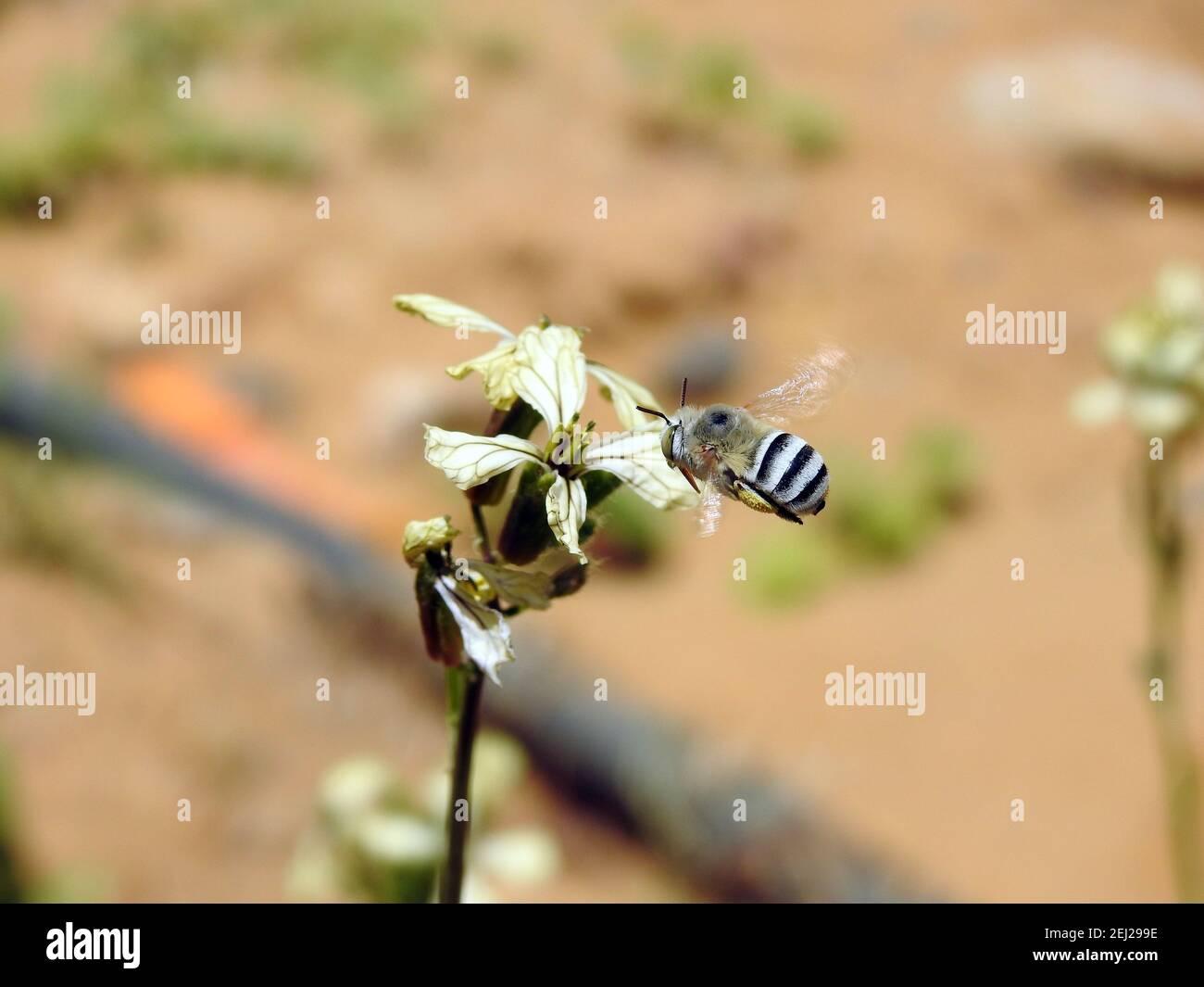 Una pequeña abeja voladora alrededor de una flor de arúgula, consumiendo el néctar de una flor Foto de stock