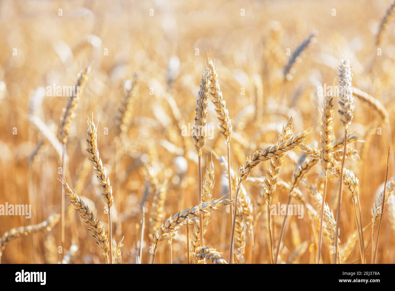 Campo de centeno de trigo, cerca de las orejas de trigo. Concepto de cosecha y cosecha. Cebada madura en el campo a finales del verano por la mañana, luz de fondo del amanecer, shal Foto de stock