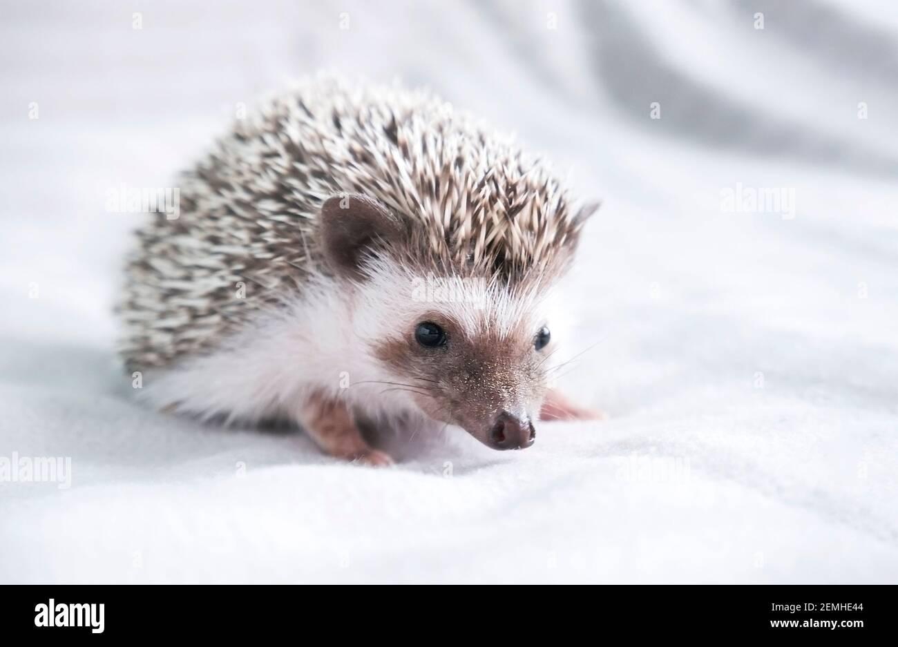 Enano decorativo africano hedgehog en casa. Hedgehog como mascota. Foto horizontal con poca profundidad de campo y enfoque selectivo. Foto de alta calidad Foto de stock