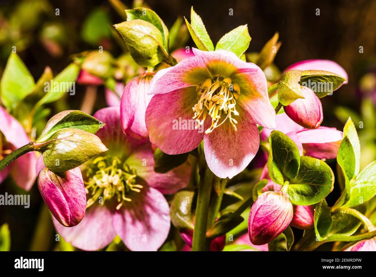 Primer plano de Helleborus orientalis rosa en un jardín del norte de Londres en invierno, Londres, Reino Unido Foto de stock