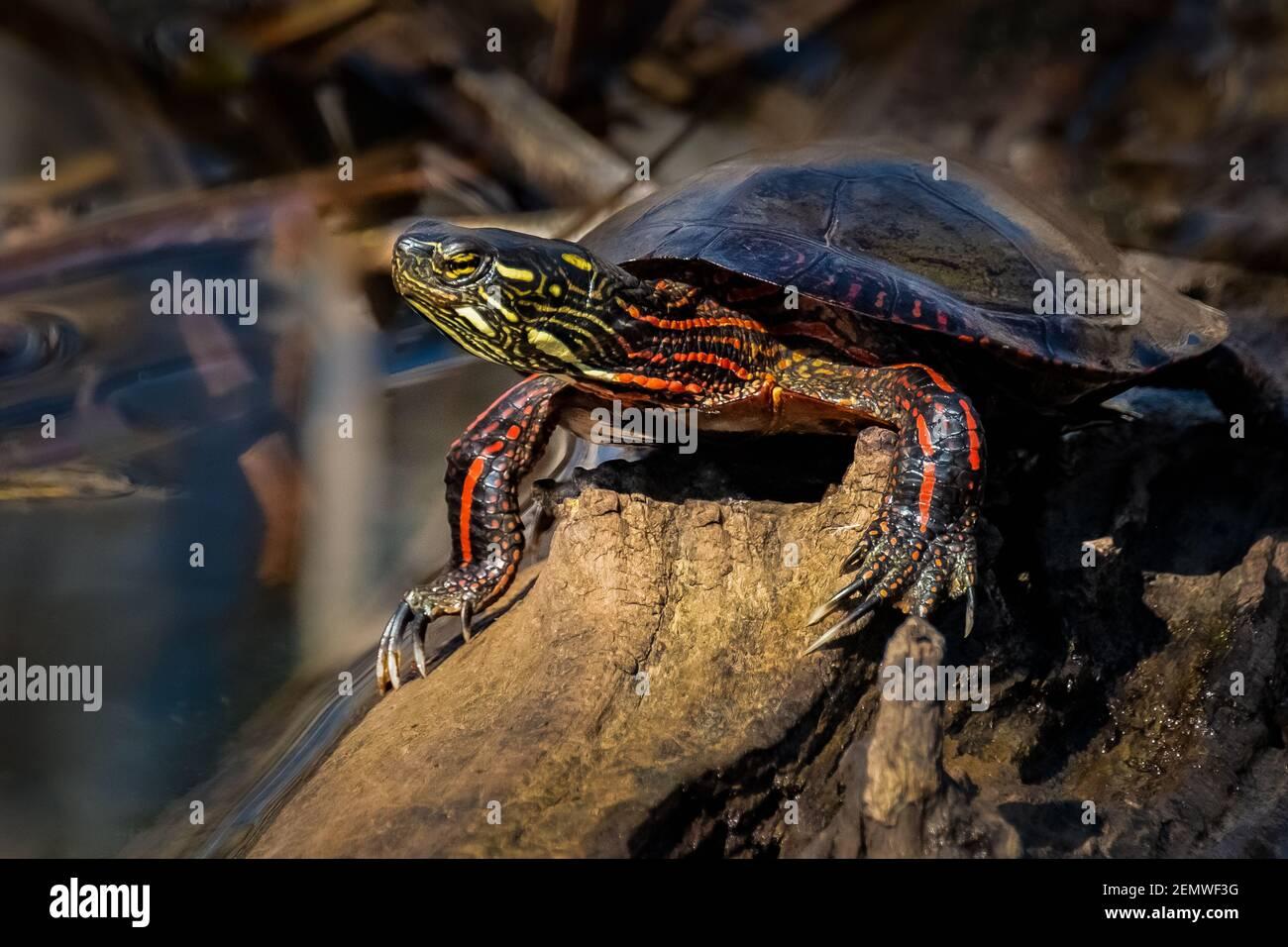 Una tortuga pintada macho (Chrysemys picta) tomando el sol de primavera en un tronco en el pantano. Foto de stock